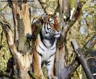 Tigre contrôler son territoire