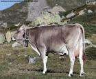 Vache en haute montagne