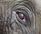 Œil de l'éléphant