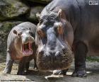 Hippopotame à côté de leur élevage