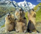 Trois marmottes alpines