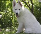 Chiot berger blanc suisse