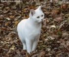 Chaton blanc