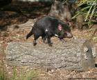 Démon de Tasmanie