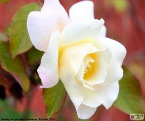 Puzzle Rose blanche