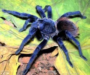 Puzzle Sazima Tarantula