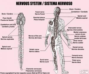 Puzzle Système nerveux