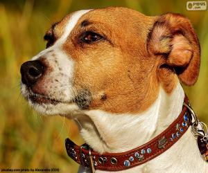 Puzzle Tête de Jack Russell Terrier