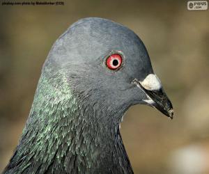 Puzzle Tête de Pigeon biset