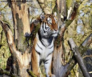 Puzzle Tigre contrôler son territoire