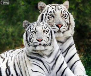 Puzzle Tigres du Bengale blancs