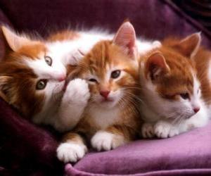 Puzzle Trois chatons blancs et bruns