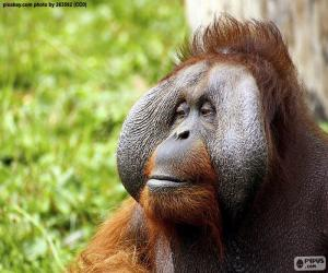 Puzzle Visage d'un orang-outan mâle