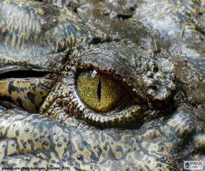 Puzzle Yeux de crocodile