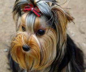Puzzle Yorkshire Terrier est un chien de petite taille appartenant au groupe des terriers et originaire du comté anglais du même nom